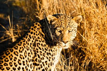 Leopard (Panthera pardus), sitzt im hohen Gras, Blick in die Kamera