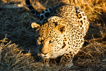 Leopard (Panthera pardus), liegt im hohen Gras, Blick in die Kamera