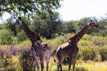 Giraffe, kruger nationalpark