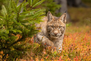 Amazing cute young lynx cub in autumn wet forest. Beautiful, endangered animal species. Unusual sight. Lovely mammal. Rare sight, very precious, gorgeous animal. Wall mural