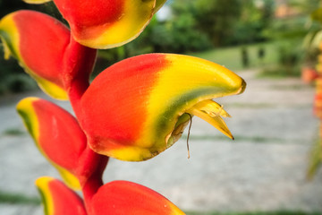 'Patuju Rostrata' or 'Common Lobster Claw' Heliconia plant growing in a tropical greenhouse environment in Bolivia