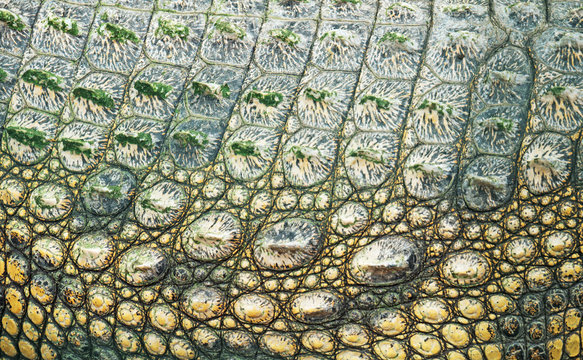 Close-up view of Crocodile skin in national zoo.