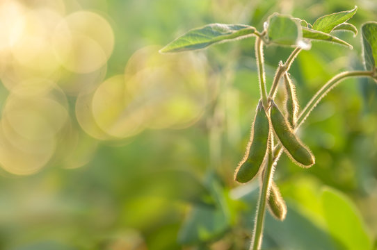 The stem of a soybean plant with young pods stretches up from the soybean field in the rays of the sun.
