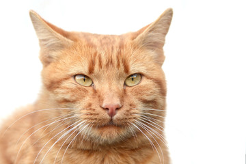 Smart young ginger cat on a white background