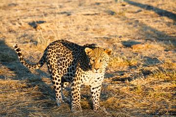 Leopard (Panthera pardus), Blick in die Kamera
