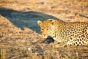 Leopard (Panthera pardus), liegt im Gras