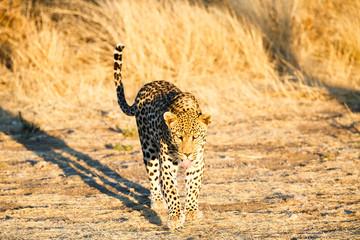 Leopard (Panthera pardus), laufend, Blickkontakt