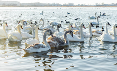Swans on wintering . Swans in the Black Sea