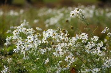 light air daisies