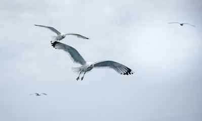 Black Sea Gulls