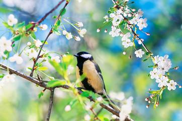 Fototapeta beautiful little bird tit sitting on a branch of cherry blossoms in may spring garden obraz