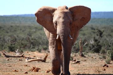 Elefant auf dem Weg zum Wasserloch
