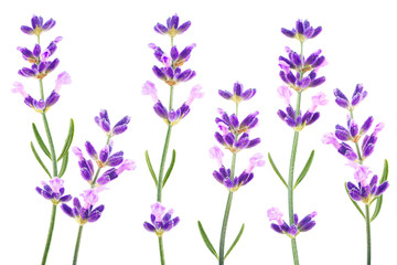 Lavender herb isolated on white background