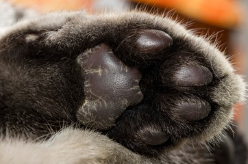 Primo piano dettagliato della zampa di un gatto