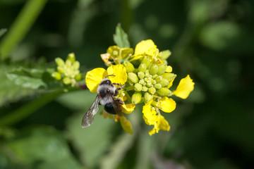Abeille solitaire - Melitta nigricans sur une fleur de colza