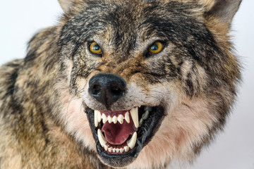 Canvas Prints Wolf grin of a wolf close up