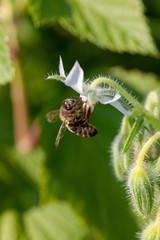 Abeille mellifère sur une fleur de bourrache