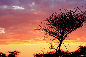 Sunrise with Thorny Tree Silhouette