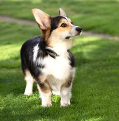 Welsh-Corgi-Hündin, 8 Monate alt, in der Hundeschule