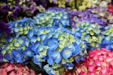 Blue hydrangea or Hydrangea macrophylla floral background.