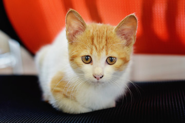 small red-and-white kitten