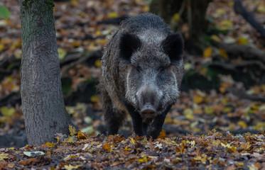 Wild Boar in forest Europe