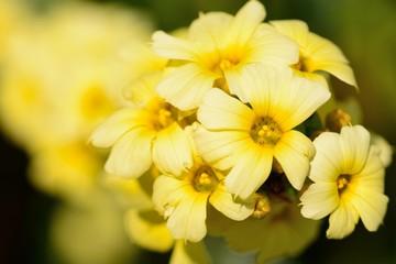 Pale yellow eyed grass (sisyrinchium striatum)