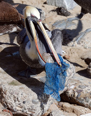 A pelican tries to eat a piece of fish entangled in a plastic mesh on the coastal edge of a beach in Valparaiso