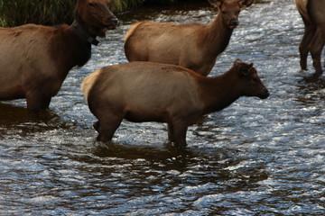 elk in river