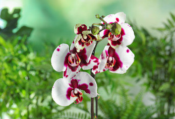 Beautiful tropical orchid flowers on blurred background