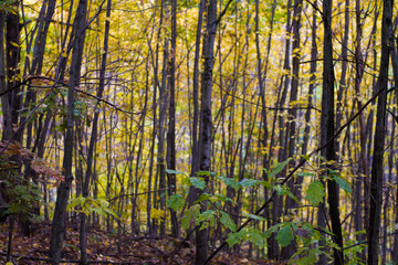 Saturated Fall Colors A Birch Forest Late Autumn In Pennsylvania