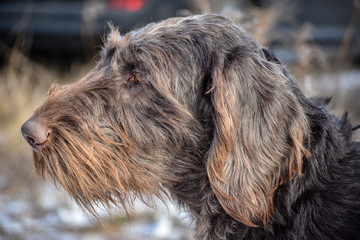 Portrait of a German wirehaired pointer. Side view.