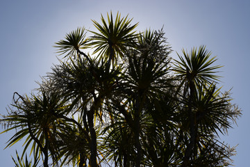 Silhouette Sawamp Cabbage Trees with Blue Sky in New Zealand