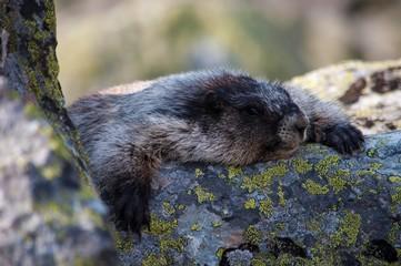 Tired marmot