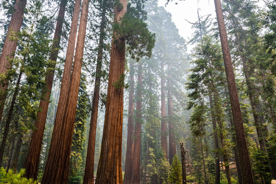 Giant Sequoia trees in Mariposa Grove, Yosemite National Park, California; smoke from Ferguson Fire visible in the air;