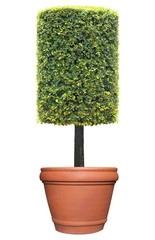 Rectangular column shape topiary tree on terracotta clay pot container isolated on white background for formal Japanese and English style artistic design garden