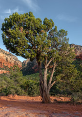 Sedona, beautiful Tree, Oak Creek Canyon, Arizona,USA