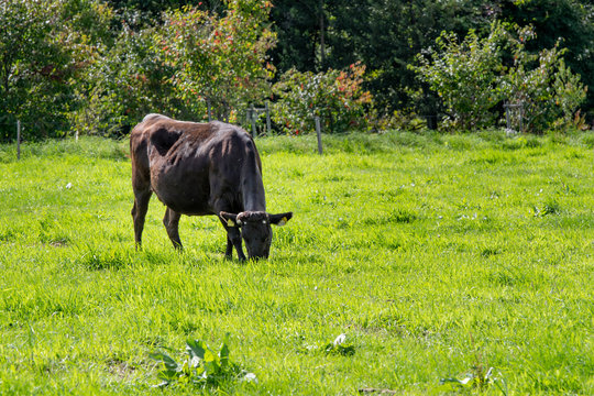 放牧地の黒毛和牛 / 北海道の牧場