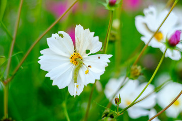 Caterpillars eating leaves and flowers Of cosmos For growth