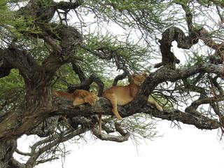 Foto op Textielframe Aap Lions in a Tree