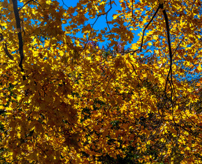 Bright Yellow Leaves Against a Blue Sky in an Autumn Landscape