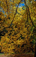 Bright Yellow Foliage in a Serene Autumn Landscape