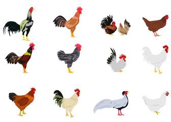 set of chickens on white background