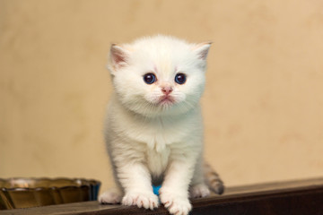 White kitten of British breed with blue eyes stands on the back of the sofa and looks forward