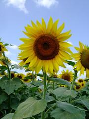 Printed roller blinds Sunflower ひまわり