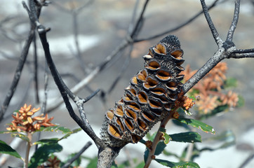 Open seed follicles and new growth on Banksia oblongifolia cone, the Fern -Leaved Banksia, following a bushfire in heath, in the Royal national Park, NSW, Australia