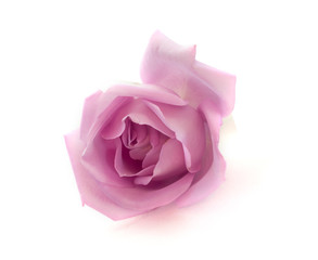 beautiful violet rose isolated on white