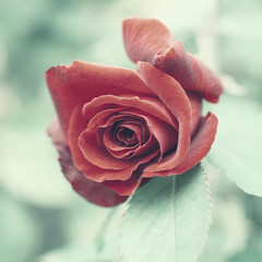 Red rose  close up, stylized