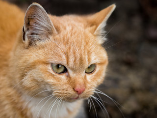 Portrait of a redhead cat while walking in the nature. Redhead cat on a dark background_