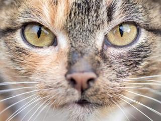 Portrait of a carnivorous cat close-up. The cat looks at the spoil carefully_